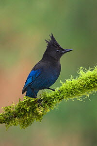 Steller's Jay (Cyanocitta stelleri) perched on mossy branch, Victoria, British Columbia, Canada.  -  Visuals Unlimited