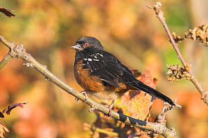 Spotted Towhee (Pipilo maculatus), Victoria, British Columbia, Canada.  -  Visuals Unlimited