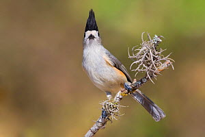 Black crested Titmouse (Baeolophus atricristatus) perched on a branch in south Texas, USA.  -  Visuals Unlimited