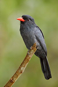 Black fronted Nunbird (Monasa nigrifrons) perched on a branch, Napo River in Amazonian Ecuador.  -  Visuals Unlimited