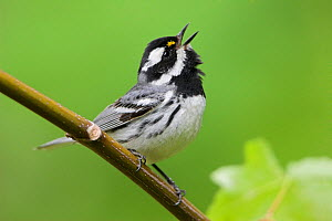 Black-throated gray warbler (Dendroica nigrescens) singing on a branch, Victoria, British Columbia, Canada. - Visuals  Unlimited