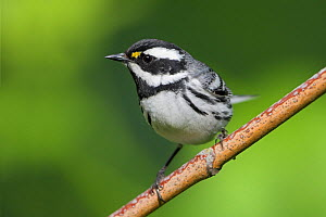 Black-throated gray warbler (Dendroica nigrescens) perched on a branch, Victoria, British Columbia, Canada. - Visuals  Unlimited