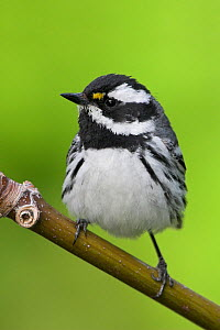 Black-throated gray warbler (Dendroica nigrescens) perched on a branch in Victoria, British Columbia, Canada. - Visuals  Unlimited
