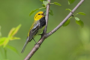 Black-throated green warbler (Dendroica virens) singing from a branch, Ontario, Canada.  -  Visuals  Unlimited