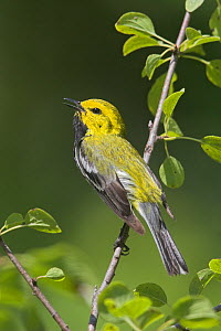 Black-throated green warbler (Dendroica virens) vocalizing on a branch, Ontario, Canada.  -  Visuals  Unlimited