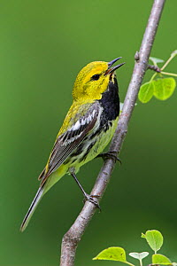 Black-throated green warbler (Dendroica virens) singing on a branch, Ontario, Canada.  -  Visuals  Unlimited