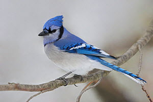 Blue Jay (Cyanocitta cristata) perched on a branch with a snowy background in Ontario, Canada. - Visuals Unlimited