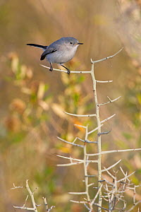 Blue gray Gnatcatcher (Polioptila caerulea) perched on a branch in south Texas, USA.  -  Visuals Unlimited
