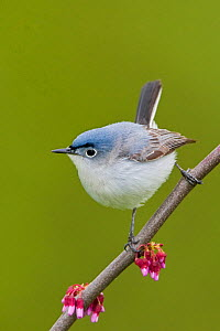 Blue gray Gnatcatcher (Polioptila caerulea) perched on a Redbud branch, Ontario, Canada.  -  Visuals Unlimited