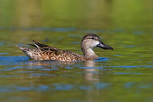 Blue winged Teal (Anas discors) female swimming in Houston, Texas, USA.  -  Visuals Unlimited