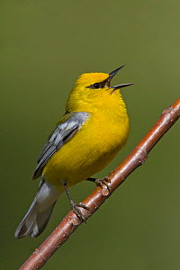 Blue winged Warbler (Vermivora pinus) singing from a branch, Ontario, Canada.  -  Visuals Unlimited
