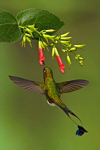 Booted Racket tail Hummingbird (Ocreatus underwoodii) male flying and feeding at a red tubular flower in the Tandayapa Valley in Ecuador.  -  Visuals Unlimited