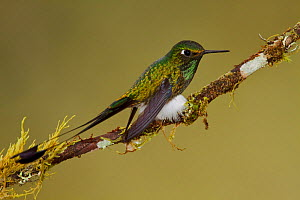 Booted Racket tail Hummingbird (Ocreatus underwoodii) male perched on a branch in the Tandayapa Valley of Ecuador.  -  Visuals Unlimited