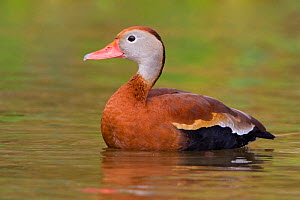 Black bellied Whistling Duck (Dendrocygna autumnalis) in water, Houston, Texas, USA.  -  Visuals Unlimited