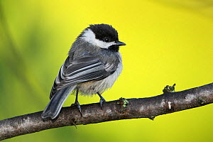 Black capped Chickadee (Poecile atricapillus) perched on a branch, Ontario Canada.  -  Visuals Unlimited