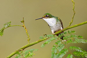 Booted Racket tail Hummingbird (Ocreatus underwoodii) female perched on a branch in the Tandayapa Valley of Ecuador.  -  Visuals Unlimited