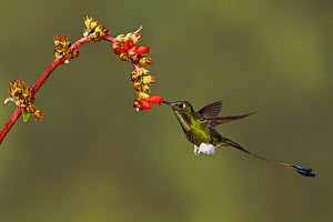 Booted Racket tail Hummingbird (Ocreatus underwoodii) male hovering and feeding at a red tubular flower, Tandayapa Valley, Ecuador.  -  Visuals Unlimited