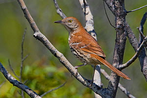 Brown Thrasher (Toxostoma rufum) perched on a branch, Toronto, Ontario, Canada.  -  Visuals Unlimited