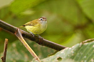 Brown-capped Vireo (Vireo leucophrys) perched on a branch, Tandayapa Valley, Ecuador.  -  Visuals  Unlimited