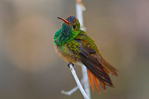 Buff bellied Hummingbird (Amazilia yucatanensis) perched on a branch in south Texas, USA.  -  Visuals Unlimited