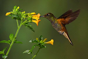 Buff tailed Coronet (Boissonneaua flavescens) hovering and feeding at a flower, Tandayapa Valley, Ecuador.  -  Visuals Unlimited