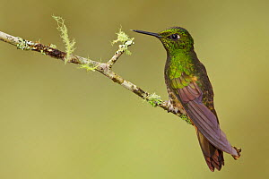 Buff tailed Coronet (Boissonneaua flavescens), Tandayapa Valley, Ecuador.  -  Visuals Unlimited
