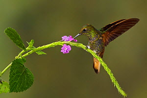 Buff tailed Coronet (Boissonneaua flavescens) feeding at a flower, Tandayapa Valley, Ecuador.  -  Visuals Unlimited