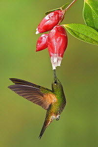 Buff tailed Coronet (Boissonneaua flavescens) hovering and feeding at a red tubular flower, Mindo Loma Reserve, Ecuador.  -  Visuals Unlimited