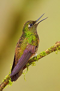 Buff tailed Coronet (Boissonneaua flavescens) perched on a branch and calling, Tandayapa Valley, Ecuador.  -  Visuals Unlimited