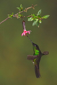 Buff winged Starfrontlet (Coeligena lutetiae) hovering and feeding at a red tubular flower at the Yanacocha Reserve, Ecuador.  -  Visuals Unlimited