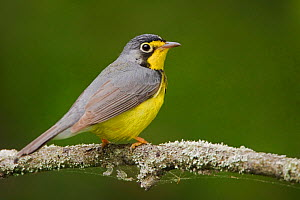 Canada warbler (Wilsonia canadensis) perched on a branch, Ontario, Canada.  -  Visuals  Unlimited