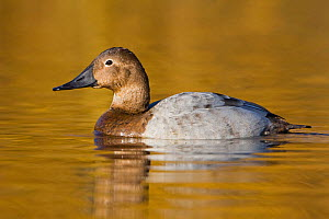 Canvasback (Aythya valisineria) female swimming on a golden pond in Victoria, British Columbia, Canada.  -  Visuals Unlimited