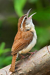 Carolina Wren (Thryothorus ludovicianus) singing on a branch in Toronto, Ontario, Canada.  -  Visuals Unlimited