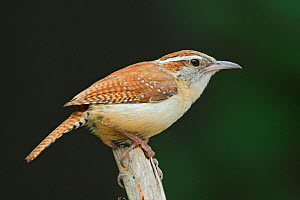 Carolina Wren (Thryothorus ludovicianus) perched on a branch in Toronto, Ontario, Canada.  -  Visuals Unlimited