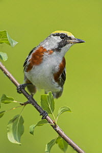 Chestnut-sided warbler (Dendroica pensylvanica) perched on a branch, Ontario, Canada.  -  Visuals  Unlimited