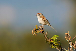 Chipping Sparrow (Spizella passerina) perched on a branch in Victoria, British Columbia, Canada. - Visuals Unlimited