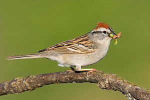 Chipping Sparrow (Spizella passerina) perched on a branch with insect prey in its bill, Victoria, British Columbia, Canada.  -  Visuals Unlimited