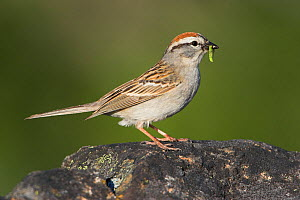 Chipping Sparrow (Spizella passerina) perched on a rock with insect prey in its bill, Victoria, British Columbia, Canada. - Visuals Unlimited