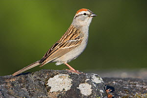 Chipping Sparrow (Spizella passerina) perched on a rock in Victoria, British Columbia, Canada. - Visuals Unlimited