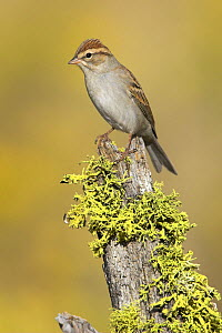 Chipping Sparrow (Spizella passerina) perched on a lichen covered stump in Bend, Oregon, USA. - Visuals Unlimited