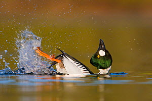 Goldeneye (Bucephala clangula) male swimming in a lagoon and performing its mating display in Victoria, British Columbia, Canada. - Visuals Unlimited