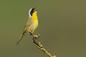 Common Yellowthroat Warbler (Geothlypis trichas) singing from a branch in Victoria, British Columbia, Canada.  -  Visuals Unlimited