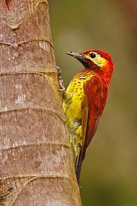 Crimson-mantled woodpecker (Piculus rivoli) perched on a branch, the Tandayapa Valley of Ecuador. - Visuals  Unlimited