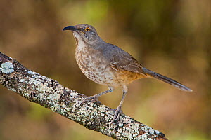 Curve billed Thrasher (Toxostoma curvirostre) on a branch in South Texas, USA.  -  Visuals Unlimited