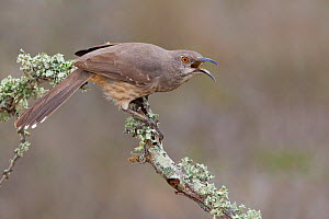 Curve billed Thrasher (Toxostoma curvirostre) calling from a branch in South Texas, USA.  -  Visuals Unlimited