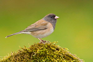 Dark Eyed Junco (Junco hyemalis) perched on a branch in Victoria, British Columbia, Canada.  -  Visuals Unlimited