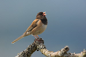 Dark eyed Junco (Junco hyemalis) singing on a branch in Victoria, British Columbia, Canada.  -  Visuals Unlimited