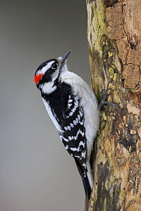 Downy Woodpecker (Picoides pubescens) feeds on a branch in Toronto, Ontario, Canada. - Visuals Unlimited