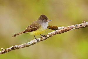 Dusky-capped flycatcher (Myiarchus tuberculifer) perched on a branch, Napo River, Amazonian Ecuador.  -  Visuals  Unlimited