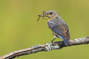 Eastern Bluebird (Sialia sialis) perched on a branch with insect prey in its bill, Ontario, Canada. - Visuals Unlimited